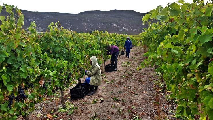 At Creation harvesting takes place from late March to early April. There's a  weather window of three months  in South Africa, presenting the opportunity to produce great Syrah.