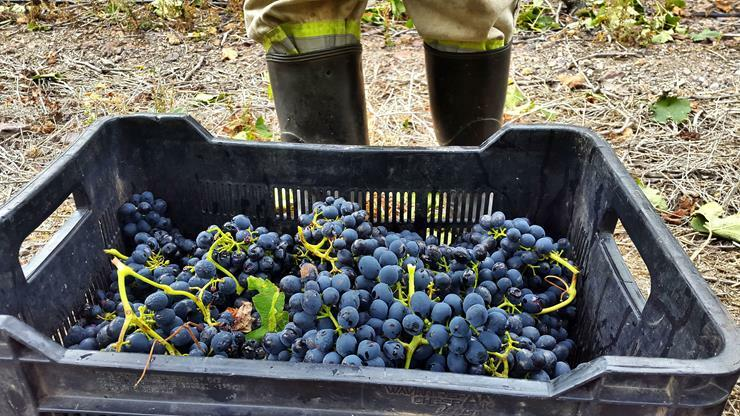 Hand picking in small crates ensures that the fruit reaches the cellar in optimum condition.
