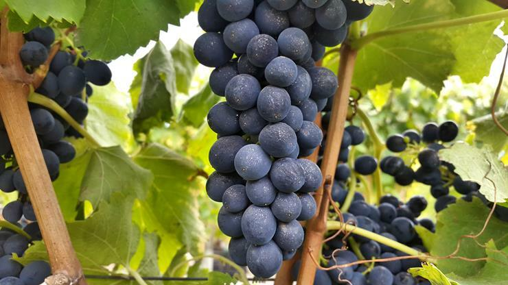 A perfect bunch of Syrah soon to be harvested in March