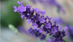 Lavender petal